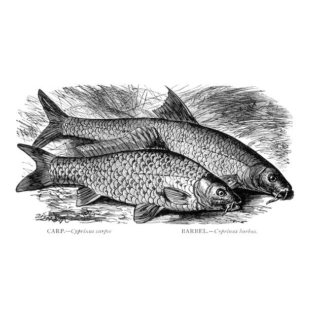 Carp And Barbel Fish. /Ncyprinus Carpo And Cyprinus Barbus. Wood Engraving,