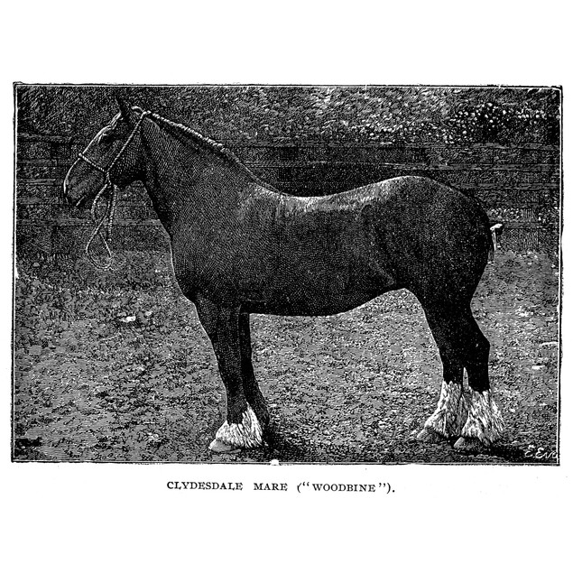 Horse. /Nwoodbine, A Clydesdale Mare. Wood Engraving, Late 19Th Century. Po