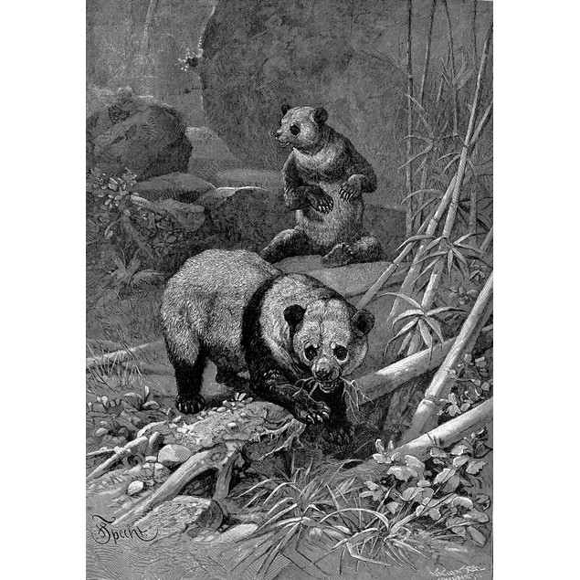 Giant Pandas. /Nline Engraving, Late 19Th Century. Poster