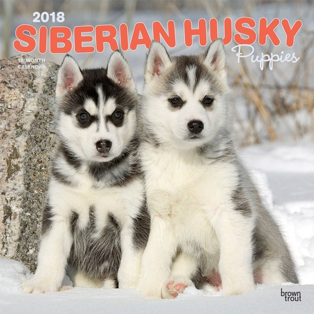 Siberian Husky Puppies Wall Calendar, Siberian Husky by Calendars