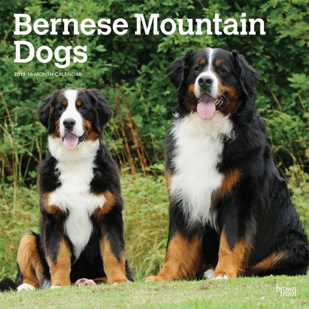Bernese Mountain Dogs Wall Calendar, Bernese Mountain Dog by Calendars