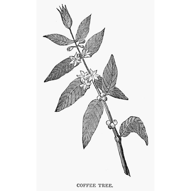 Coffee Tree, C1850. /Nbranch Of A Coffee Tree. Wood Engraving, American, C1