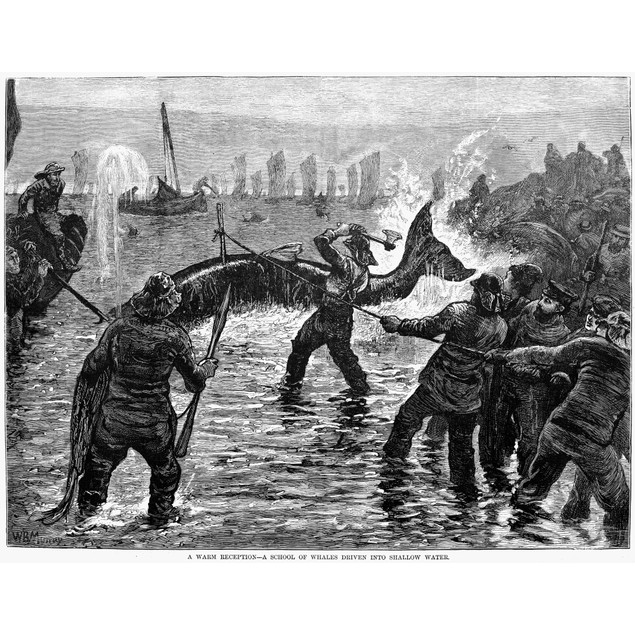 Whaling At Shore, 1875. /N'A Warm Reception - A School Of Whales Driven Int