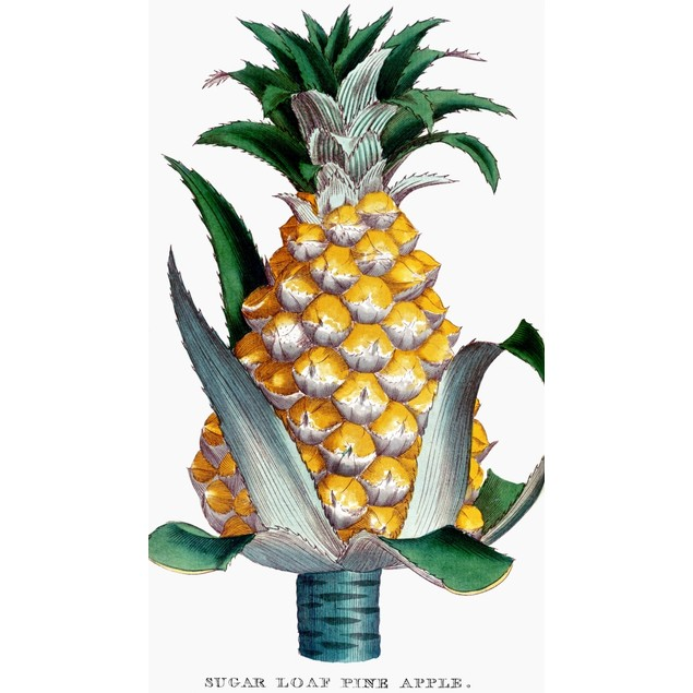 Pineapple, 1789. /Nsugarloaf Pineapple. Copper Engraving From John Abercrom