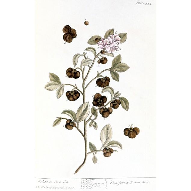 Peco Tea, 1735. /Nbranch Of The Peco Or Bohea Tea Plant. Engraving By Eliza