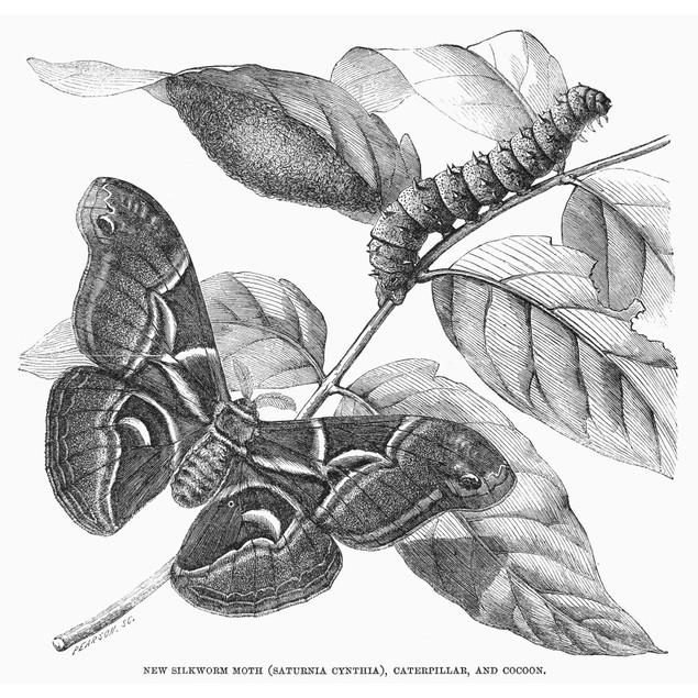 Silkworm & Moth. /Na New Silkworm Moth (Saturnia Cynthia), Caterpillar, And