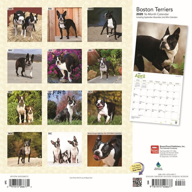 Boston Terriers Wall Calendar, Boston Terrier by Calendars