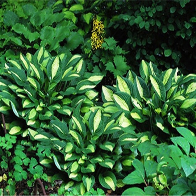 100Pcs Hosta Plantaginea Seeds Fragrant Plantain Flower Fire Ice Shade