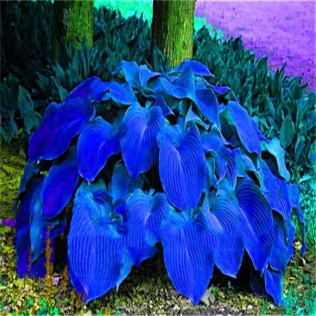 100Pcs Hosta Plantaginea Seeds Fragrant Plantain Flower Fire Ice Shade