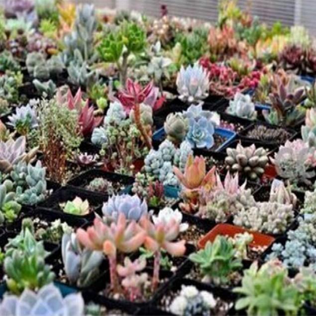 100pcs Mix Succulent Seed Lithops Pseudotruncatella Bonsai Plants Seeds