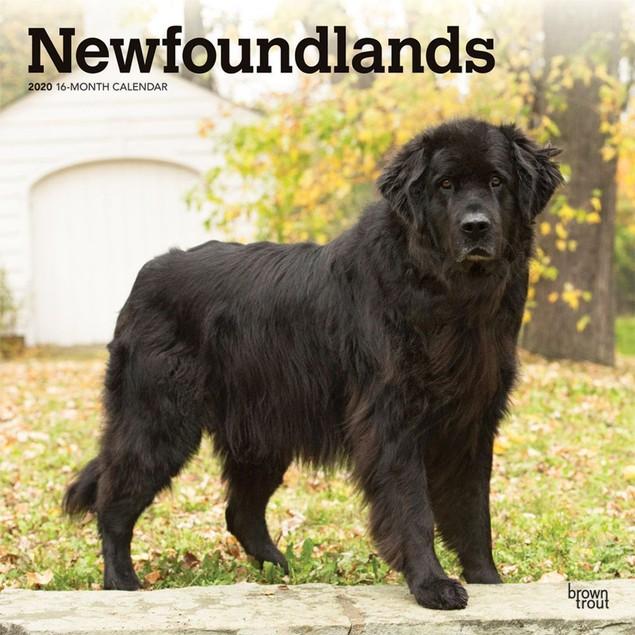 Newfoundlands Wall Calendar, Newfoundland by Calendars
