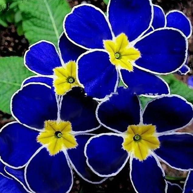 100Pcs Evening Primrose Seeds Easy to Grow Decor Plant Flower