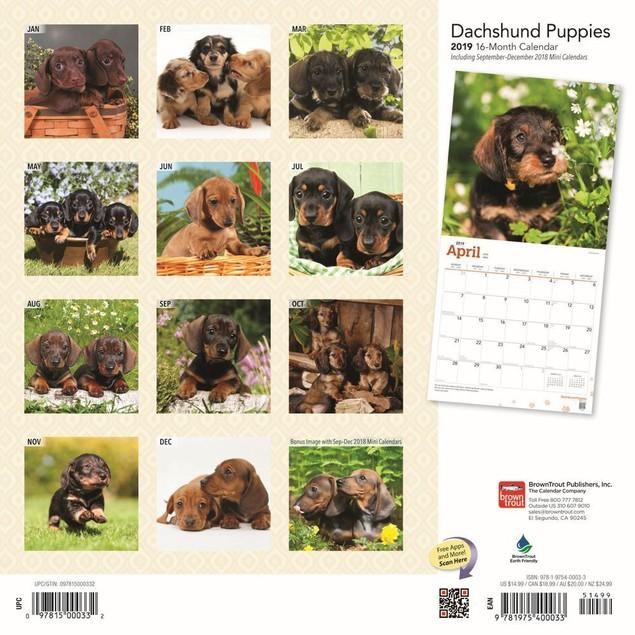 Dachshund Puppies (BROWNT Wall Calendar, Dachshund by Calendars