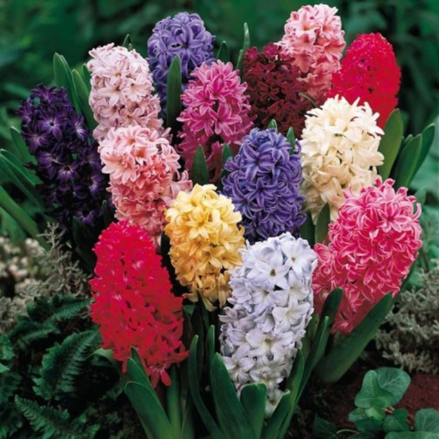 300Pcs Mixed Hyacinthus Seeds Home Plant Flower Seed Decor