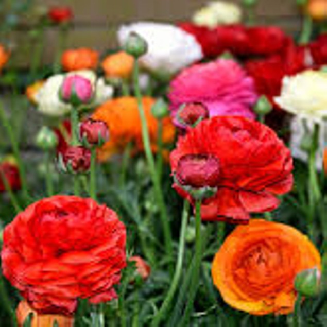 Mixed Ranunculus Flower Bulbs