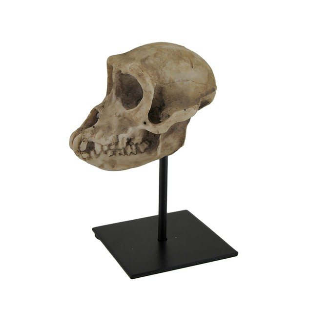 Monkey Skull Statue On Museum Mount Statues