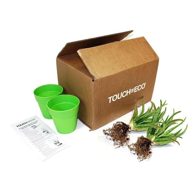 Aloe Vera Kit - 2 Plants